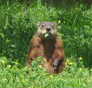 A Groundhog Predicts the Arrival of Spring